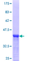 WWTR1 / TAZ Protein - 12.5% SDS-PAGE Stained with Coomassie Blue.