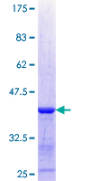 XYLB Protein - 12.5% SDS-PAGE Stained with Coomassie Blue.
