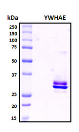 YWHAE / 14-3-3 Epsilon Protein - SDS-PAGE under reducing conditions and visualized by Coomassie blue staining