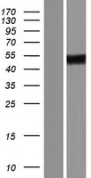 ZNF275 Protein - Western validation with an anti-DDK antibody * L: Control HEK293 lysate R: Over-expression lysate