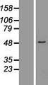 ZNF701 Protein - Western validation with an anti-DDK antibody * L: Control HEK293 lysate R: Over-expression lysate