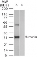 Western blot of human humanin (A) recombinant fusion protein containing amino acids12-24 and (B) fusion partner without these amino acids, using antibody at1:2000.