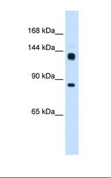 Hunchback / HB Antibody - Drosophila cell lysate. Antibody concentration: 0.25 ug/ml. Gel concentration: 8%.  This image was taken for the unconjugated form of this product. Other forms have not been tested.