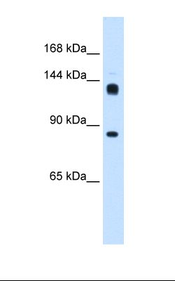 Drosophila cell lysate. Antibody concentration: 0.25 ug/ml. Gel concentration: 8%.  This image was taken for the unconjugated form of this product. Other forms have not been tested.