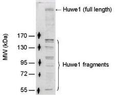 HUWE1 / ARFBP1 Antibody - Detection of full length Huwe1 (~482kDa) and its degradation fragments in mouse testis lysate (50ug) by Western blotting using PW0950 at 1:100 dilution.