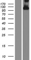 HYDIN Protein - Western validation with an anti-DDK antibody * L: Control HEK293 lysate R: Over-expression lysate