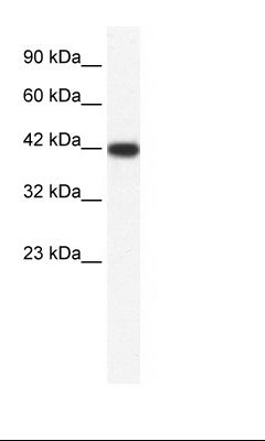 HepG2 Cell Lysate.  This image was taken for the unconjugated form of this product. Other forms have not been tested.