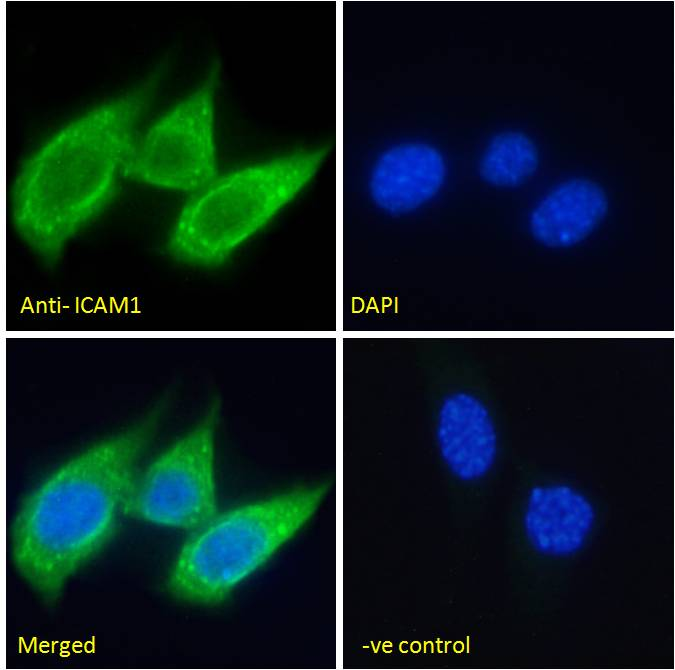 Immunofluorescence analysis of paraformaldehyde fixed NIH3T3 cells, permeabilized with 0.15% Triton. Primary incubation 1hr (5ug/ml) followed by Alexa Fluor 488 secondary antibody (2ug/ml), showing cytoplasmic/membrane staining. The nuclear stain