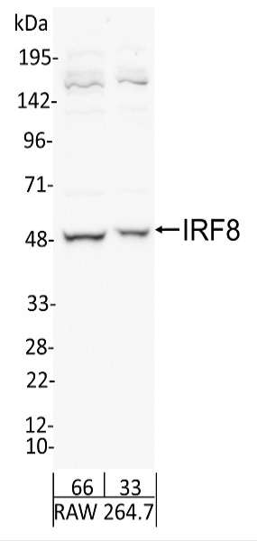 Detection of Mouse IRF8 by Western Blot. Samples: Whole cell lysate from RAW 264.7 (66 and 33 ug ). Antibodies: Affinity purified rabbit anti-IRF8 antibody used for WB at 1.0 ug/ml. Detection: Chemiluminescence with exposure time of 30 seconds.
