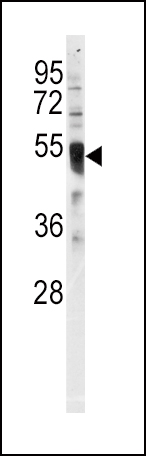 Western blot of anti-IRF8 Antibody in HL60 cell line lysates (35 ug/lane). IRF8 (arrow) was detected using the purified antibody.