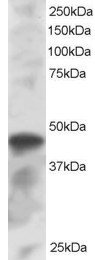 Staining (1 ug/ml) of K562 lysate (RIPA buffer, 30 ug total protein per lane). Primary incubated for 1 hour. Detected by chemiluminescence.