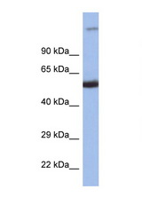 IRF8 antibody Western blot of 1 Cell lysate. Antibody concentration 1 ug/ml.  This image was taken for the unconjugated form of this product. Other forms have not been tested.