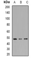 Western blot analysis of IRF8 expression in HL60 (A); THP1 (B); mouse spleen (C) whole cell lysates.