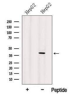 IDH3A Antibody - Western blot analysis of extracts of HepG2 cells using IDH3A antibody. The lane on the left was treated with blocking peptide.