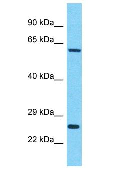IDH3B antibody Western Blot of HepG2. Antibody dilution: 1 ug/ml.  This image was taken for the unconjugated form of this product. Other forms have not been tested.