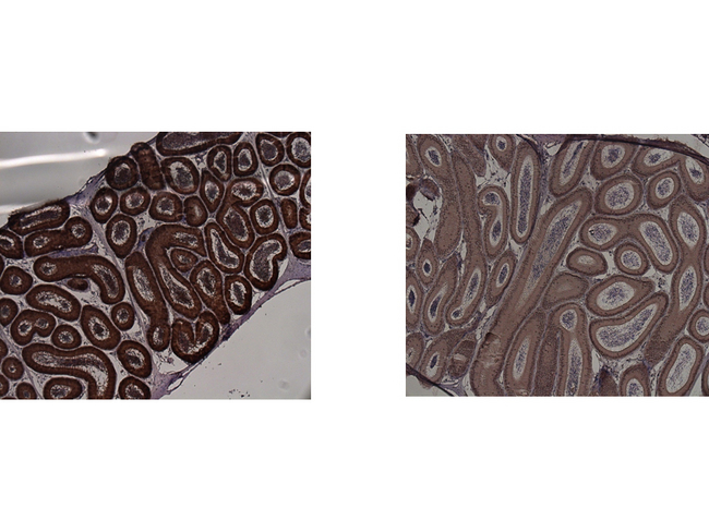 IDO1 / IDO Antibody - Immunohistochemistry of Mouse anti-IDO1 antibody. Tissue: epididymis from wild-type (left) or IDO1 null mice (right). Fixation: paraffin-embedded. Primary antibody: IDO1 (2E2) monoclonal antibody. Secondary antibody: Peroxidase mouse secondary antibody at 1:10,000 for 45 min at RT. Localization: IDO-1 is located in the cytosol. Staining: IDO1 as precipitated brown signal.