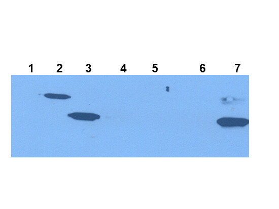 IDO1 / IDO Antibody - Western Blot of Mouse Anti-IDO1 antibody. Extracts from 293HEK Cells expressing: Lane 1: Control Vector. Lane 2: His-tagged mouse IDO1. Lane 3: mouse IDO1. Lane 4: His-tagged mouse IDO2. Lane 5: mouse IDO2. Lane 6: Epididymis from IDO null. Lane 7: wild type mice. Primary antibody: IDO-1(2E2) monoclonal antibody. Secondary antibody: mouse secondary antibody at 1:10,000 for 45 min at RT. Block: 1xPBST overnight at 4°C. Predicted/Observed size: 41-42 kDa/41-42 kDa for IDO-1. Other band(s): none.