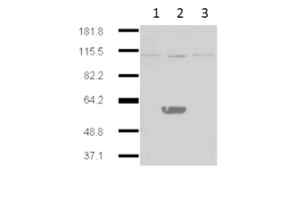 Western blot of Mouse Anti-IDO2 antibody. Lane 1: HEK293 no transgene cell extracts. Lane 2: mouse IDO-2 transgene expressed in 293HEK. Lane 3: mouse IDO-1 transgene expressed in 293HEK. Primary antibody: IDO2 monoclonal Antibody. Secondary antibody: IRDye800 mouse secondary antibody at 1:10000 for 45 min at RT. Block: 5% BLOTTO overnight at 4C. Predicted/Observed size: 44.4 kDa, ~60 kDa for IDO 2. Other band(s): IDO2 splice variants and isoforms.