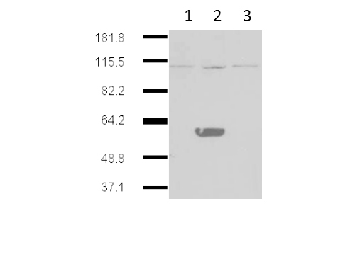 IDO2 / INDOL1 Antibody - Western Blot of Mouse Anti-IDO2 antibody. Lane 1: HEK293 no transgene cell extracts. Lane 2: mouse IDO-2 transgene expressed in 293HEK. Lane 3: mouse IDO-1 transgene expressed in 293HEK. Primary antibody: IDO2 monoclonal Antibody. Secondary antibody: mouse secondary antibody at 1:10,000 for 45 min at RT. Block: 5% BLOTTO overnight at 4°C. Predicted/Observed size: 44.4 kDa, ~60 kDa for IDO 2. Other band(s): IDO2 splice variants and isoforms
