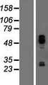 IER5 Protein - Western validation with an anti-DDK antibody * L: Control HEK293 lysate R: Over-expression lysate