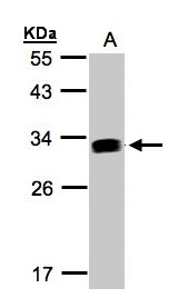 Sample (30 ug whole cell lysate). A: Raji . 12% SDS PAGE. IFI30 / IP30 antibody diluted at 1:1000