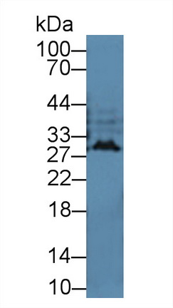 Western Blot; Sample: Cavia Cerebrum lysate; Primary Ab: 2µg/mL Rabbit Anti-Cavia IFNa Antibody Second Ab: 0.2µg/mL HRP-Linked Caprine Anti-Rabbit IgG Polyclonal Antibody