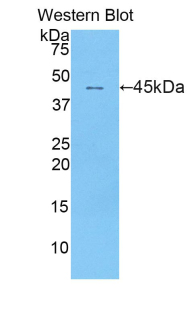 Western blot of recombinant IFNA1 / Interferon Alpha.  This image was taken for the unconjugated form of this product. Other forms have not been tested.