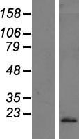 IFNA10 / Interferon Alpha 10 Protein - Western validation with an anti-DDK antibody * L: Control HEK293 lysate R: Over-expression lysate