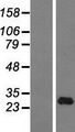 IFNA14 / Interferon Alpha 14 Protein - Western validation with an anti-DDK antibody * L: Control HEK293 lysate R: Over-expression lysate