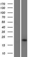 IFNA16 / Interferon Alpha 16 Protein - Western validation with an anti-DDK antibody * L: Control HEK293 lysate R: Over-expression lysate