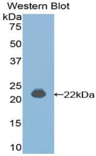 Western blot of recombinant IFNA4 / Interferon Alpha 4.  This image was taken for the unconjugated form of this product. Other forms have not been tested.