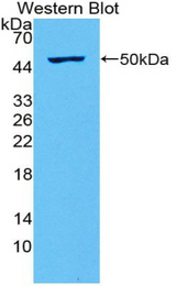 Western blot of recombinant IL28A.