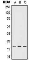 Western blot analysis of IFN omega expression in HEK293T (A); NIH3T3 (B); H9C2 (C) whole cell lysates.