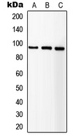 Western blot analysis of IGF1 Receptor expression in HEK293T (A); SP2/0 (B); NIH3T3 (C) whole cell lysates.