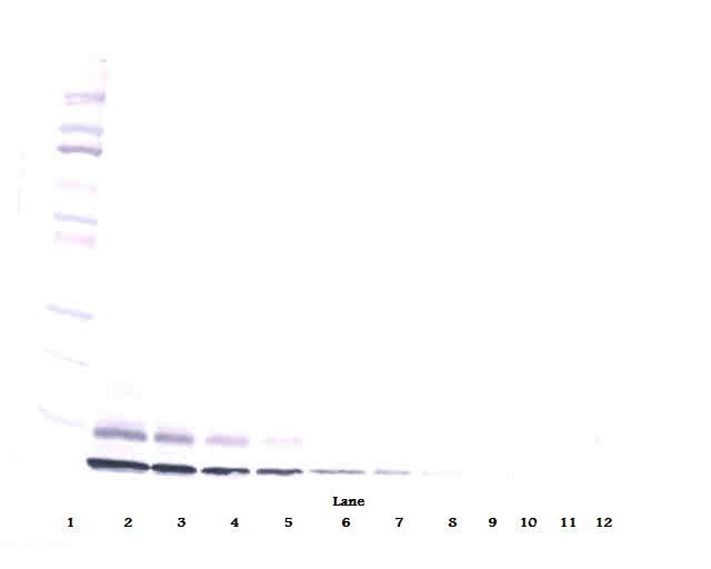 Western Blot (non-reducing) of IGF-II / IGF2 antibody