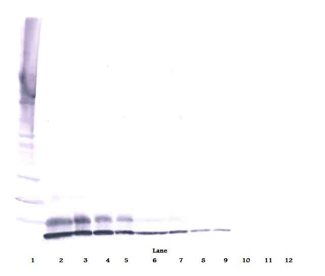 Anti-Human IGF-II Western Blot Reduced