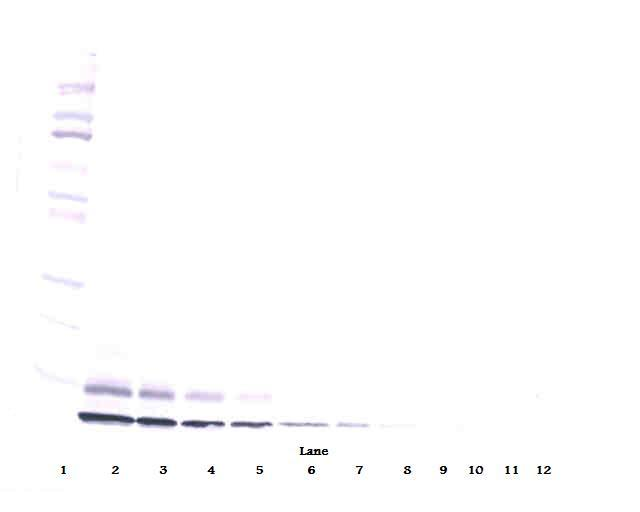 Anti-Human IGF-II Western Blot Unreduced
