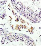 Immunohistochemistry: Mannose 6 Phosphate Receptor (Cation independent) Antibody (2G11) - Staining of human testis using antibody at 1:100.