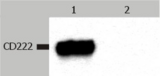 Western Blotting analysis (non-reducing conditions) of CD222 in whole cell lysate of JURKAT human peripheral blood T cell leukemia cell line.  Lane 1: immunostaining with anti-CD222 (MEM-238)  Lane 2: immunostaining with Isotype mouse IgG1 control (PPV-06)
