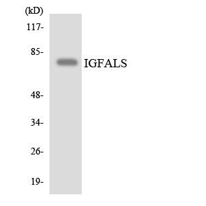 Western blot analysis of the lysates from RAW264.7cells using IGFALS antibody.