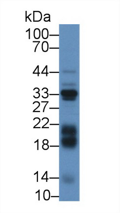 Western Blot; Sample: Mouse Liver lysate; Primary Ab: 2µg/mL Rabbit Anti-Bovine IGFBP3 Antibody Second Ab: 0.2µg/mL HRP-Linked Caprine Anti-Rabbit IgG Polyclonal Antibody