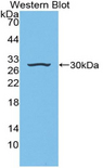 Western blot of recombinant IGFBP4.