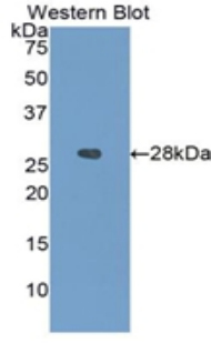 Western blot of recombinant IGFBP4 / IGFBP-4.  This image was taken for the unconjugated form of this product. Other forms have not been tested.
