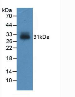 Western Blot; Sample: Recombinant IGFBP4, Human.