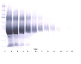 Biotinylated Anti-Human IGF-BP5 Western Blot Reduced