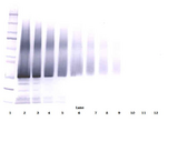 Biotinylated Anti-Human IGF-BP5 Western Blot Unreduced