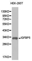Western blot of extracts of HEK-293T cell lines, using IGFBP5 antibody.