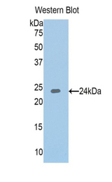 Western blot of recombinant IGFBP6 / IGFBP-6.  This image was taken for the unconjugated form of this product. Other forms have not been tested.