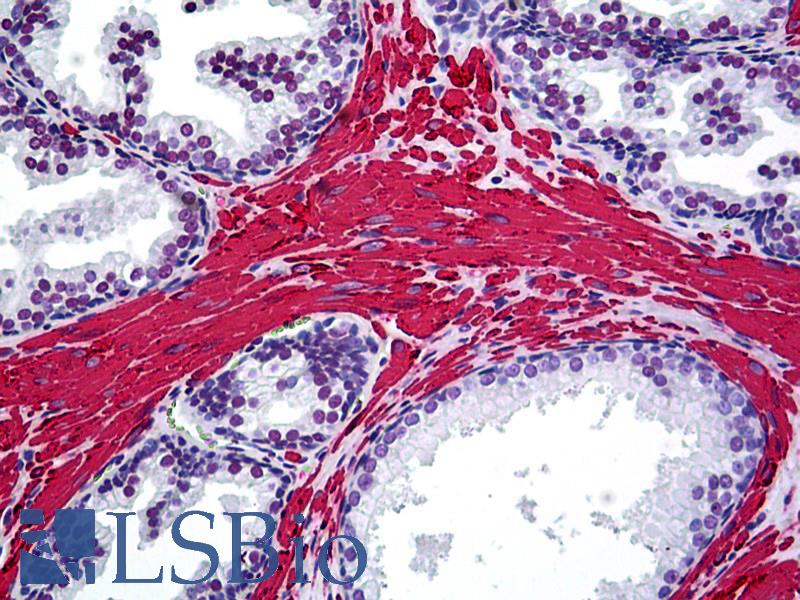 ACTA2 / Smooth Muscle Actin Antibody - Anti-Smooth Muscle Actin antibody IHC of human prostate. Immunohistochemistry of formalin-fixed, paraffin-embedded tissue after heat-induced antigen retrieval. Antibody dilution 1:10.