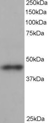 ACTR1B Antibody - Antibody staining (1 ug/ml) of human heart lysate (RIPA buffer, 35 ug total protein per lane). Primary incubated for 1 hour. Detected by Western blot of chemiluminescence.